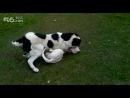 собачьи бои волкодав против аргентинского дога